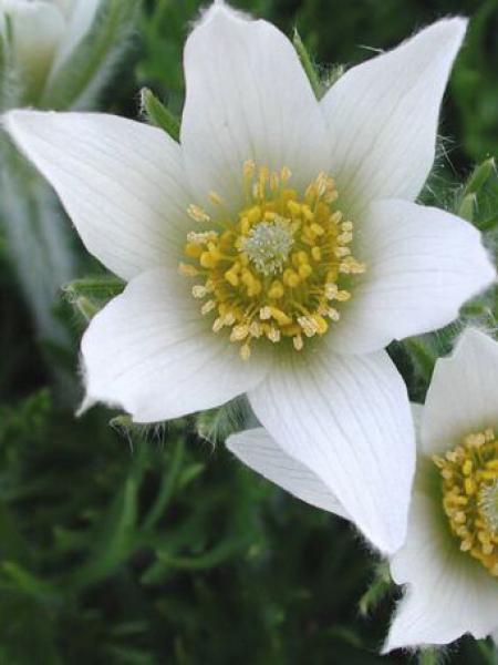 Anémone pulsatile 'White Swann'
