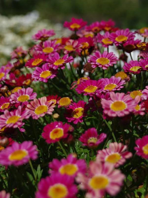 Argyranthemum frutescens 'Deep Pink'