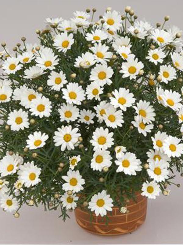 Argyranthemum frutescens 'Mars'