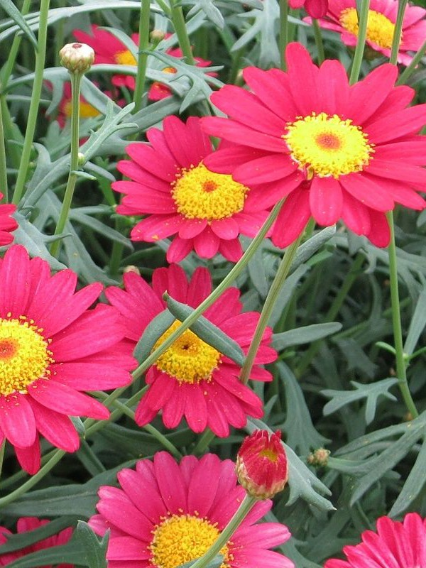 Argyranthemum frutescens 'Red'