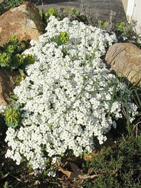 Arabette du Caucase 'Snow Cap'
