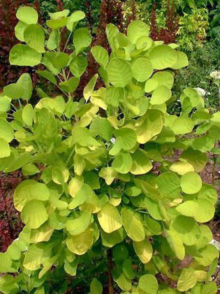 Cotinus coggygria 'Golden Spirit®'