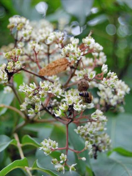 Arbre aux abeilles,Arbre à miel,Arbre aux cent mille fleurs