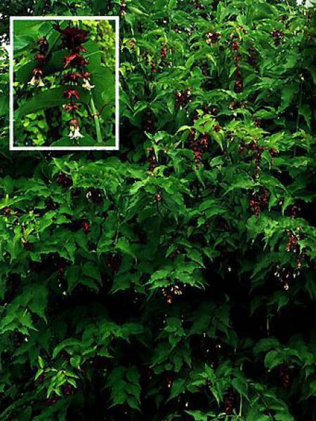 arbre aux faisans leycesteria formosa le jardin du pic vert. Black Bedroom Furniture Sets. Home Design Ideas