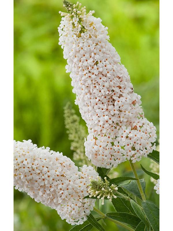 arbre aux papillons 39 argus white 39 buddleja le jardin du pic vert. Black Bedroom Furniture Sets. Home Design Ideas