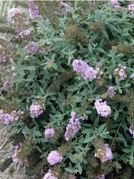 Arbre aux papillons Lilac Chip 'valbud3'