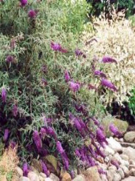 Arbre aux papillons 'Nanho Purple'