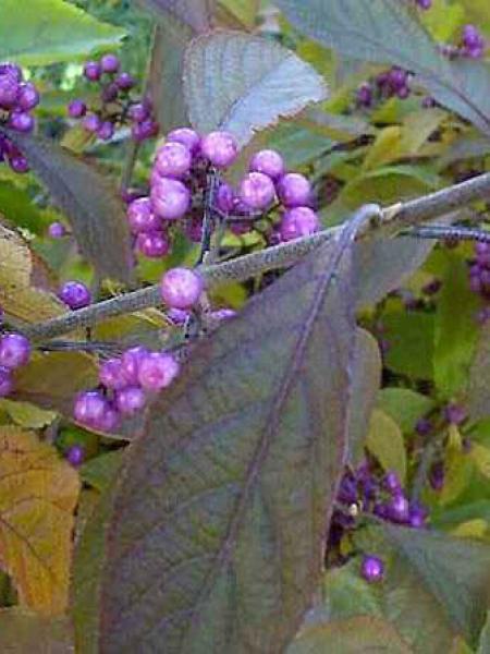 Arbuste aux bonbons bodinieri giraldii