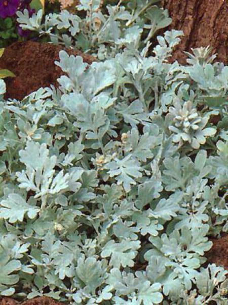 Armoise à feuilles de Cinéraire 'Boughton Silver'