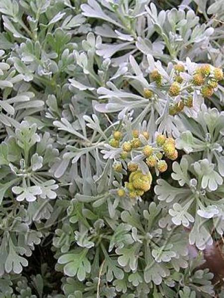 Armoise à feuilles de Cinéraire