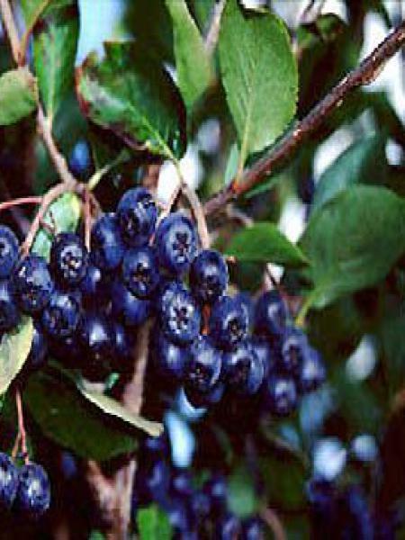 Aronie à fruits noirs