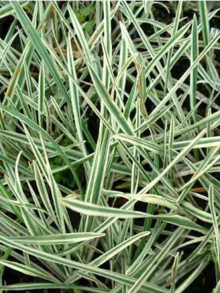 Arrhenatherum elatius ssp. Bulbusom 'Variegatum'