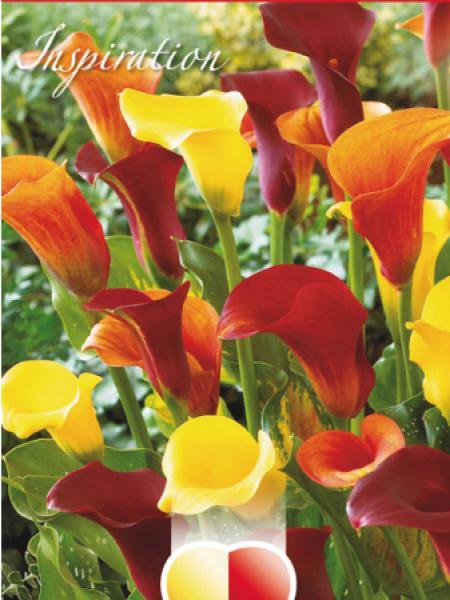Arum 'Mélange Jaune, Orange et Violet'