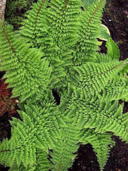 Aspidie à cils raides 'Plumosum Densum'
