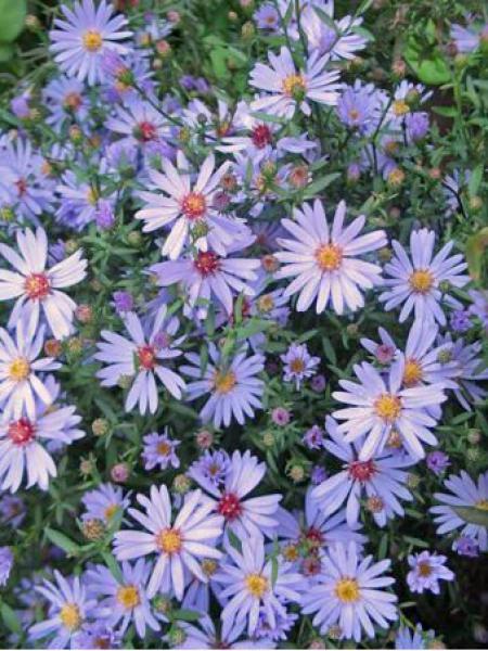 Aster à feuilles en coeur 'Blue Heaven'