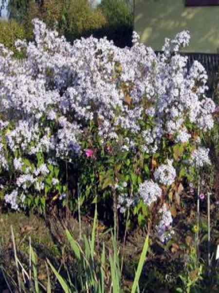 Aster à feuilles en coeur 'Blütenregen'