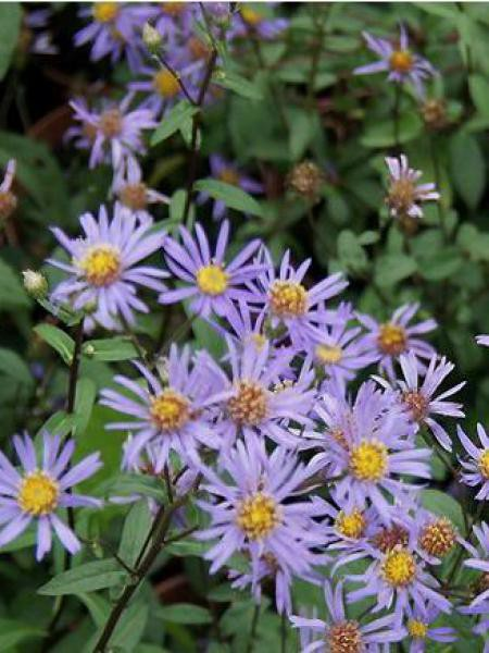 Aster 'August Sky'