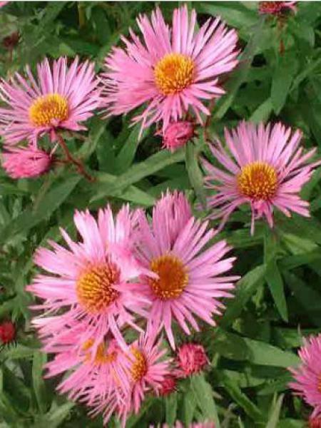Aster de la Nouvelle-Angleterre 'Barr's pink'