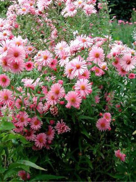 Aster de la Nouvelle-Angleterre 'Harrington Pink'