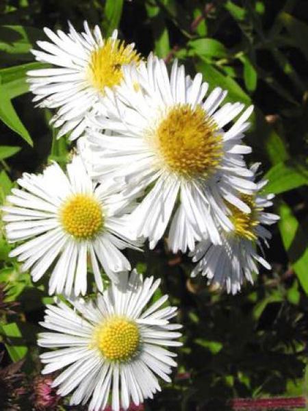 Aster de la Nouvelle-Angleterre 'Herbstschnee'