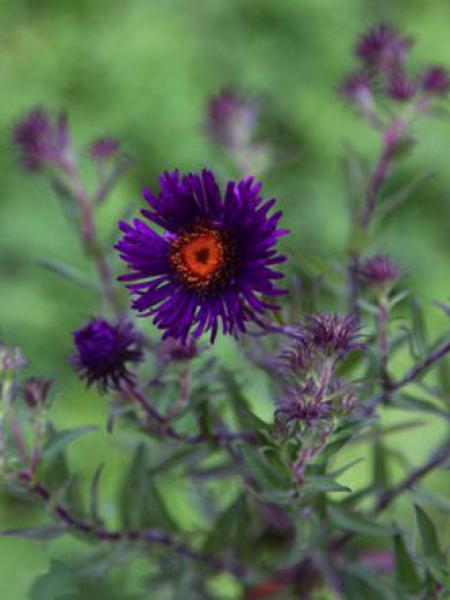 Aster de la Nouvelle-Angleterre 'Violetta'