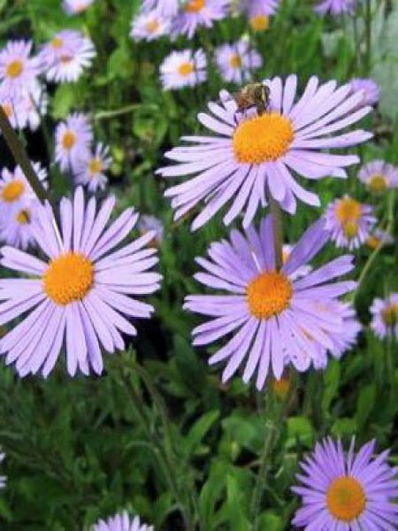 Aster de printemps 'Wartburgstern'