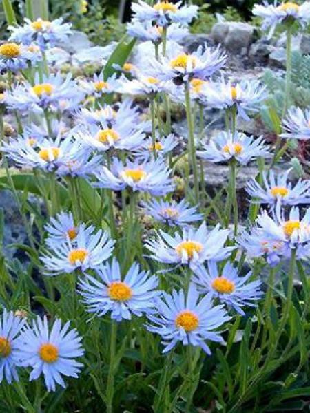 Aster des Alpes 'Blue Beauty'