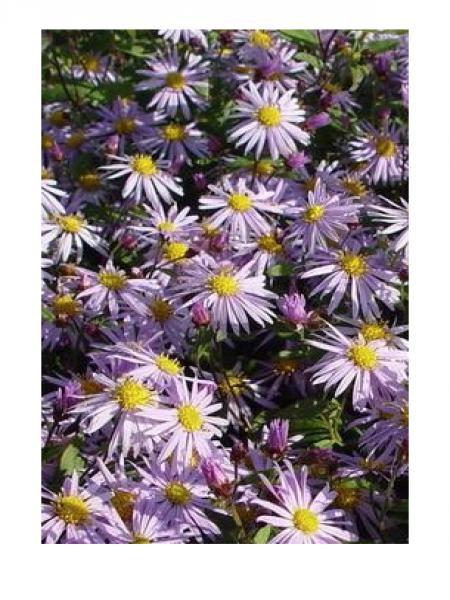 Aster 'Eleven purple'