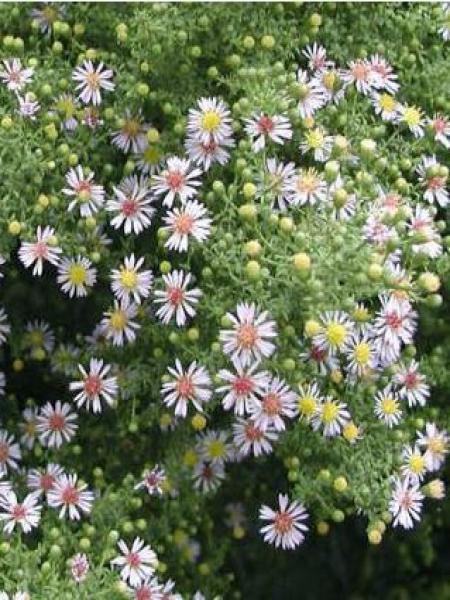 Aster ericoides 'Lovely'