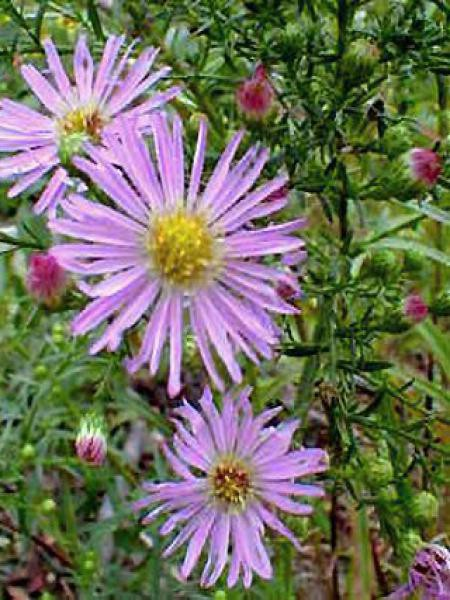 Aster ericoides 'Pink Star'