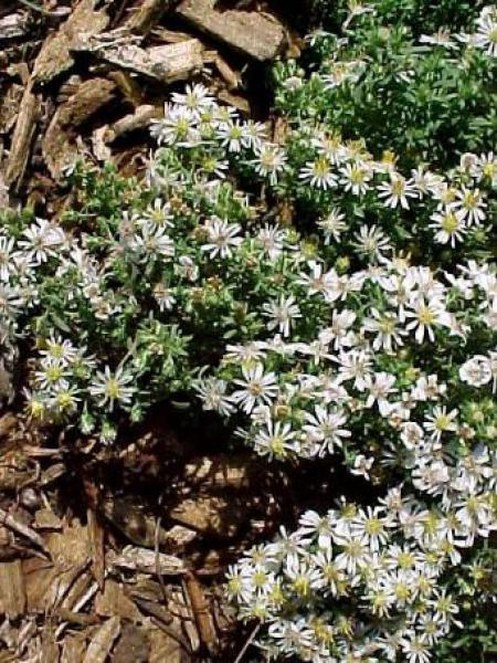 Aster ericoides 'Prostrate Form'