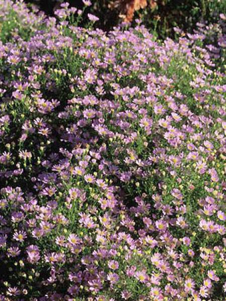 Aster 'Esther'
