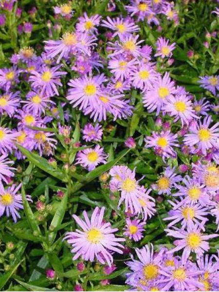 Aster grand d'automne 'Blütenmeer'