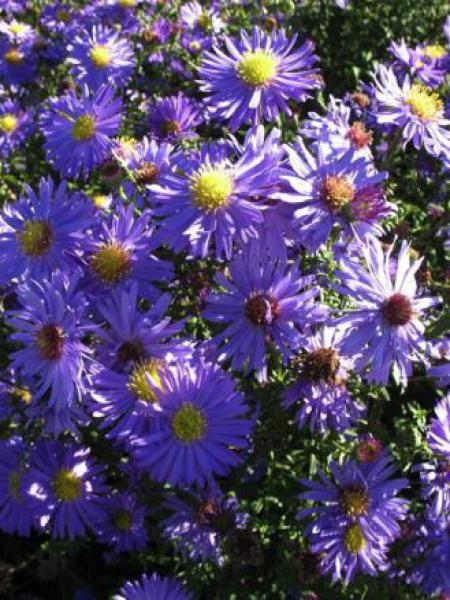 Aster grand d'automne 'Dauerblau'
