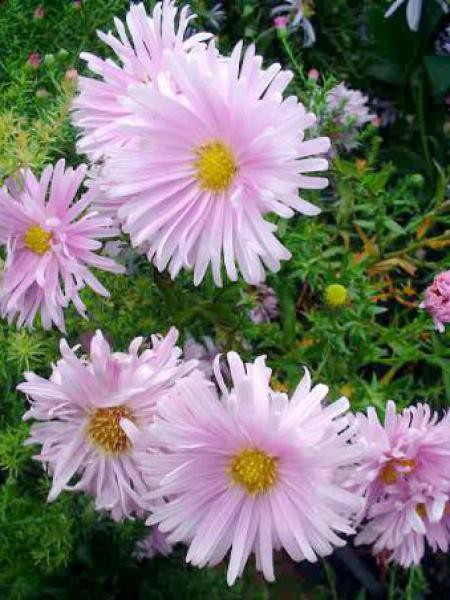 Aster grand d'automne 'Fellowship'