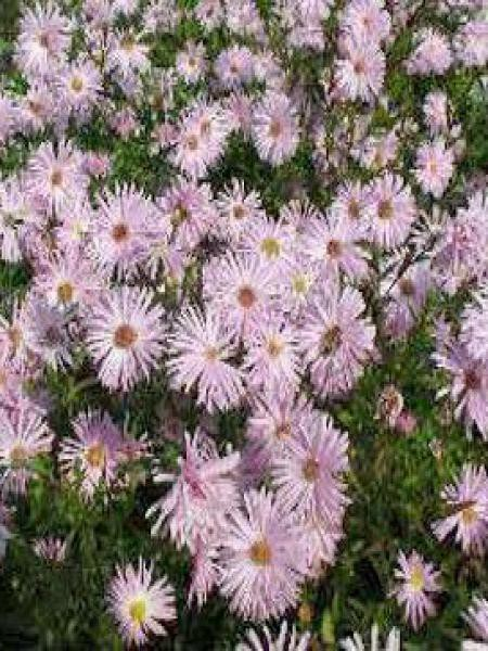Aster grand d'automne 'Flamingo'