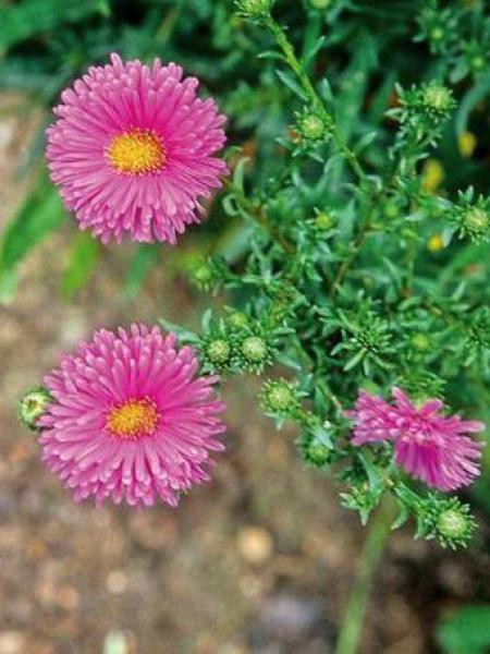 Aster grand d'automne 'Lady Frances'
