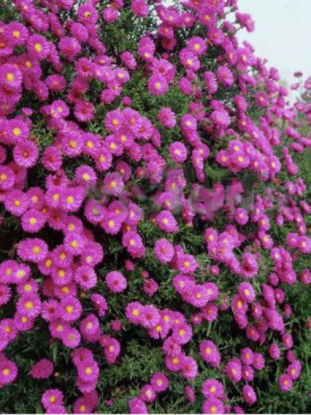 Aster grand d'automne 'Lisette'