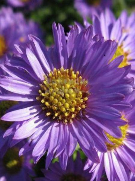 Aster grand d'automne 'Reitlingstal'