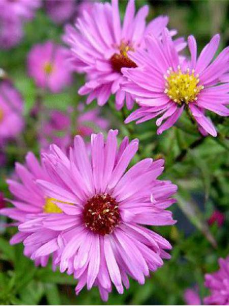 Aster grand d'automne 'Rosa Perle'