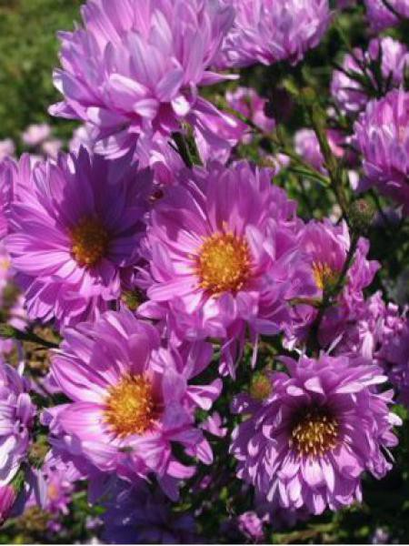 Aster grand d'automne 'Rosenponpon'