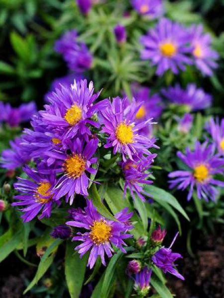 Aster nain 'Augenweide'