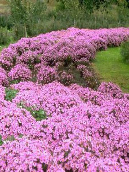 Aster nain 'Herbstgruss vom Bresrhof'