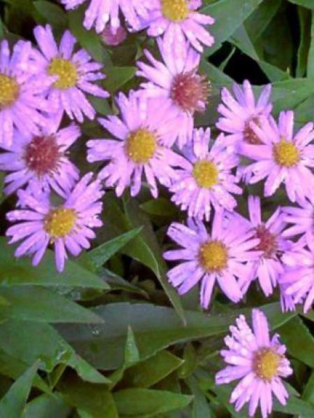 Aster nain 'Marjorie'