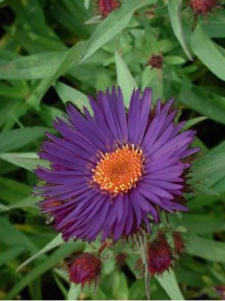 Aster nain 'Purple Dome'