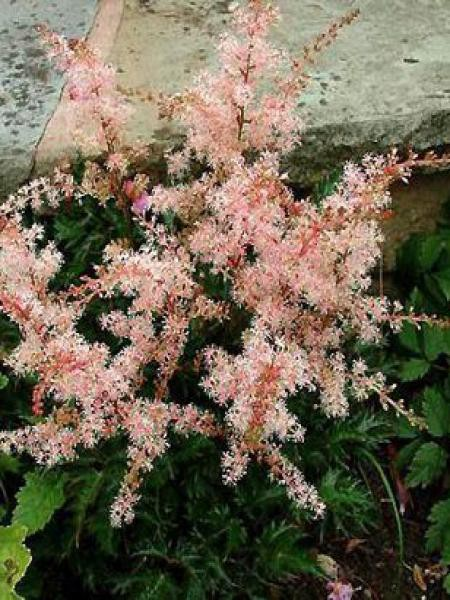 Astilbe à feuilles simples 'Inshriach Pink'