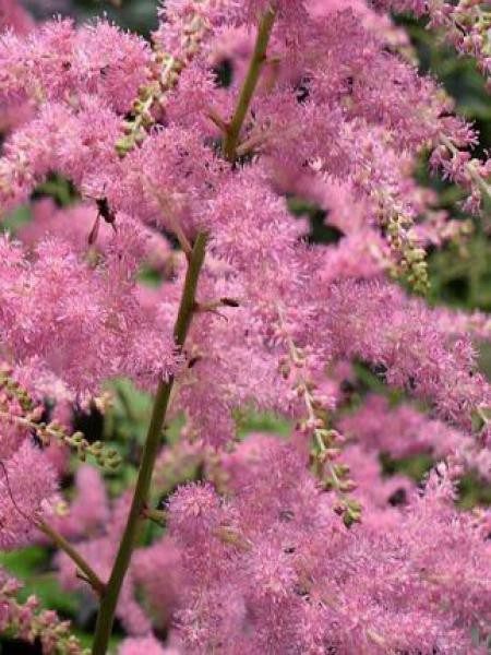 Astilbe d'Arends 'Bressingham Beauty'