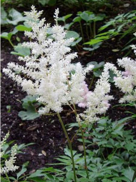 Astilbe d'Arends 'Diamant'