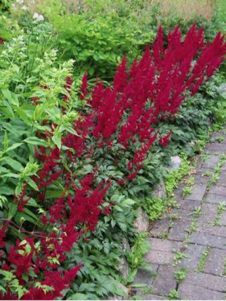 Astilbe d'Arends 'Fanal'