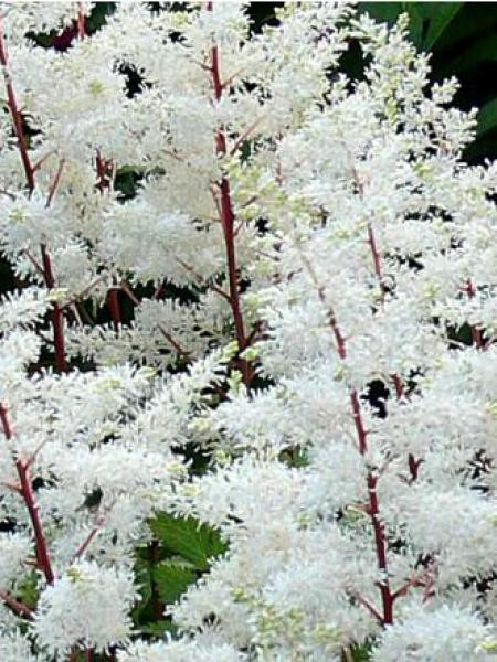 Astilbe d'Arends 'Rock and Roll'
